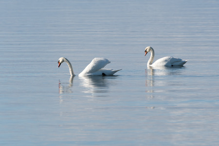 Graceful couple Mute Swans, Cygnus Olor, in a bright and calm blue water