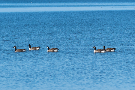 Flock with swimming Canadian Geese, Branta Canadensis, in a calm water Stock Photo