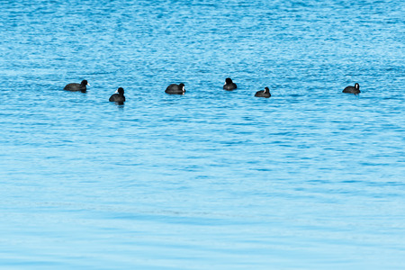 Small group with Coots, Fulica Atra, in calm blue water