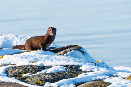 One sunlit courious mink on some rocks in the winter season at the swedish island Oland Stock Photo