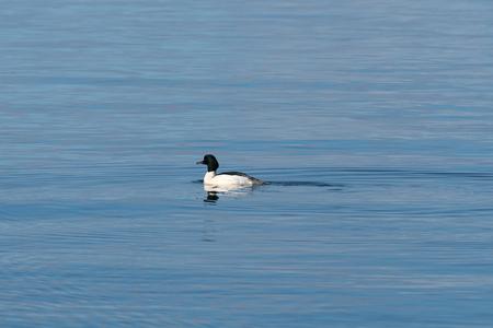 Swimming male Goosander, Mergus Merganser, in a calm water Stock Photo