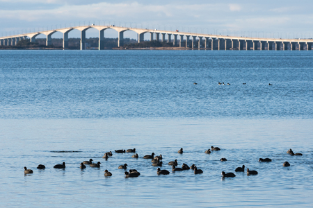 Flock with Coots wintering in the Baltic Sea in front of the swedish olandbridge