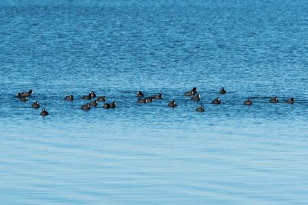 Coots, Fulica Atra, in a flock swimming in calm blue water