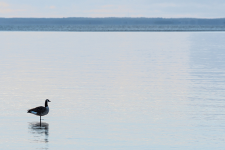 One Canadian Goose, Branta Canadensis, standing on one leg in the water