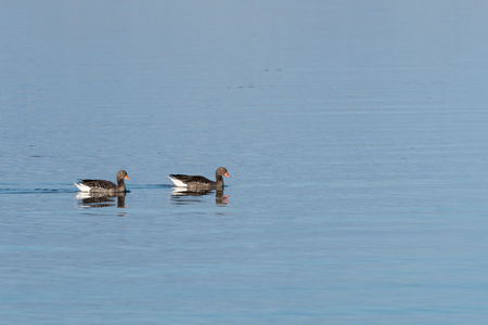 Couple of Greylag Geese, Anse anser, together in calm blue water