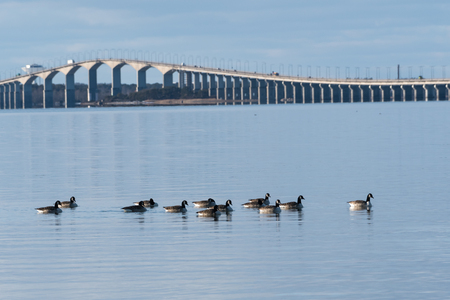 Flock with Canadian Geese, Branta Canadensis, in the Baltic Sea in Sweden with the Olandbridge in the back