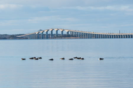 Resting Canadian Geese, Branta Canadensis, in the Baltic Sea with the swedish Olandbridge in the back Stock Photo