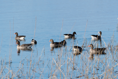 Flock with Greylag Geese, Anser Anser, in the reeds with bright blue water Stock Photo
