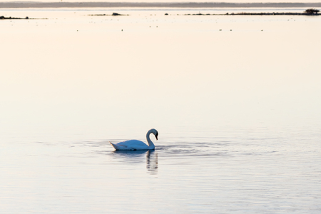 Evening serenity by an absolutely calm water with a solitary swan