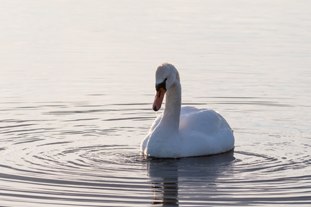Mute Swan, Cygnus Olor, in a calm water with circular ripples