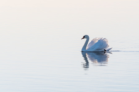 White Mute swan, Cygnus olor, gliding with gracefulness and dignity by a bright seamless background in an absolutely calm water Stock Photo