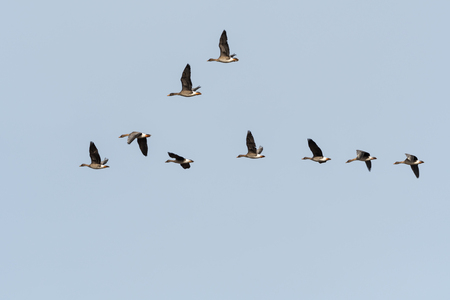 Migrating Bean Geese, Anser fabalis, in v-formation at the swedish island Oland