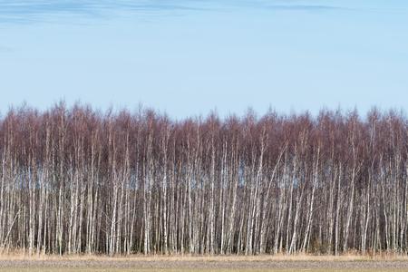 Birch grove by early springtime at the swedish island Oland
