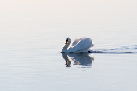 Graceful Mute Swan swimming in a seamless bright water