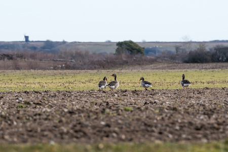 Group with Greylag Geese, Anser anser, by spring season in a farmers field at the swedish island Oland