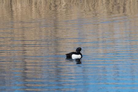 Male Tufted Duck, Aythya fuligula, in a pond by spring season