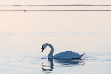 Graceful Mute Swan, Cygnus olor, swimming in calm water by the swedish island Oland in the Baltic Sea Stock Photo