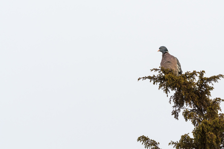 Common Wood Pigeon, Columba Palumbus, sitting on a branch in a juniper shrub at the swedish island Oland Stock Photo
