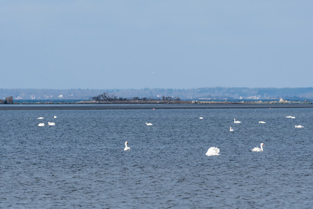 Seascape with white swans swimming in a bay in the Baltic Sea in sweden Stock Photo