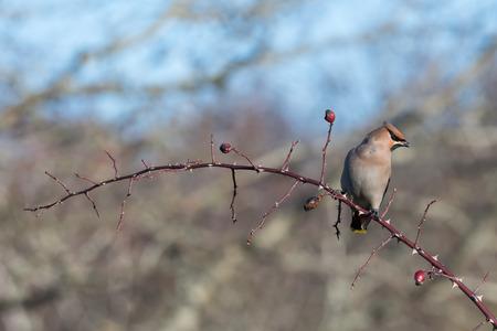 Beautiful Waxwing bird, Bombycilla garrulus, sitting on a rose hip twig at the swedish island Oland