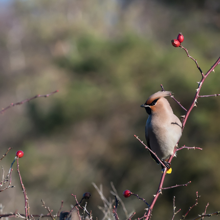 Beautiful sunlit Waxwing bird, Bombycilla garrulus, searching for food in a rose hip shrub at the swedish island Oland