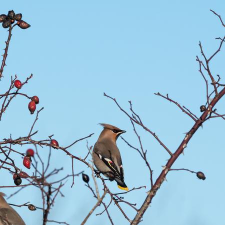 Beautiful Waxwing bird, Bombycilla garrulus, looking for food in a rose hip shrub at the swedish island Oland