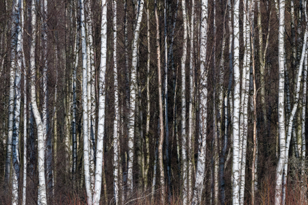 Bright background image with sunliy birch tree trunks Stock Photo