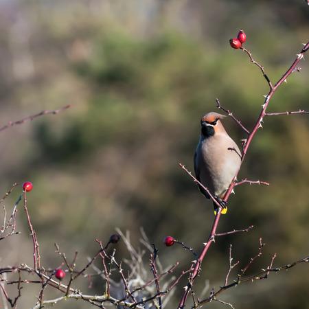 Beautiful Waxwing bird, Bombycilla garrulus, searching for food in a rose hip shrub at the swedish island Oland Stock Photo