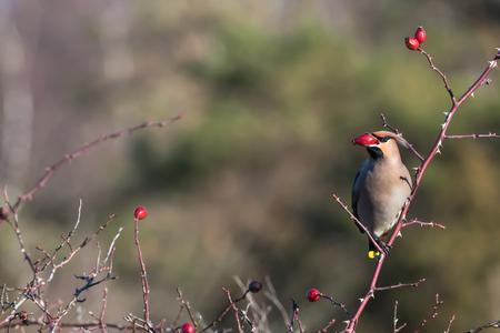 Beautiful Waxwing bird, Bombycilla garrulus, feeding rose hip berries in a shrub at the swedish island Oland