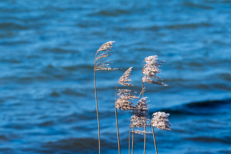 Fluffy dry reeds flowers blowing in the wind by a blue water background