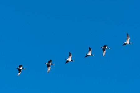 Migrating Barnacle Geese, Branta Leucopsis, flying in a line by a blue sky Stock Photo