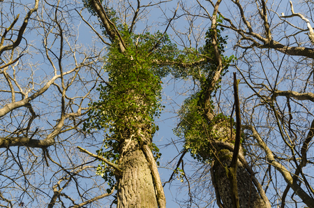 Oak tree trunks with climbing Ivy plants by a blue sky