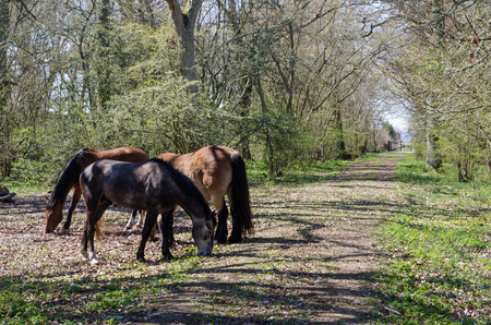Grazing horses by springtime at the swedish island Oland