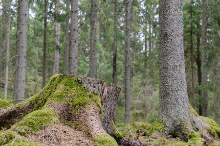 Mossy tree stump in an old coniferous spruce tree forest