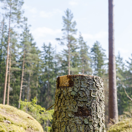 Tree stump in a bright glade in a coniferous forest Stock Photo