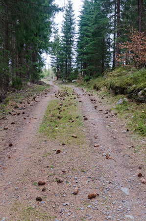 Spruce tree cones on the ground on a country road in a coniferous forest