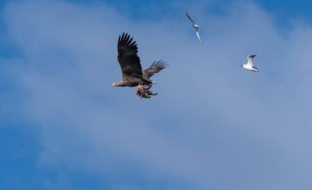 White Tailed Eagle flying with catch and followed by other birds bu a blue sky