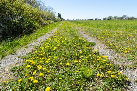 Low perspective image of a colorful springtime view with yellow dandelions blossom by a country road at the swedish island Oland Stok Fotoğraf