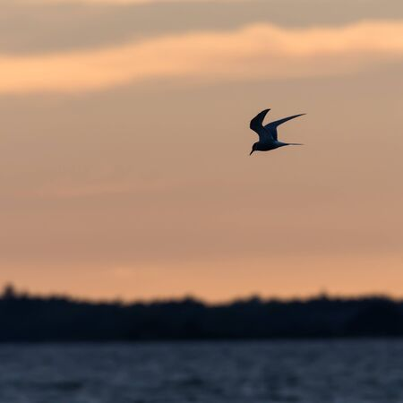 Common Tern, Sterna hirundo,  fishing by twilight time in a blue water Imagens
