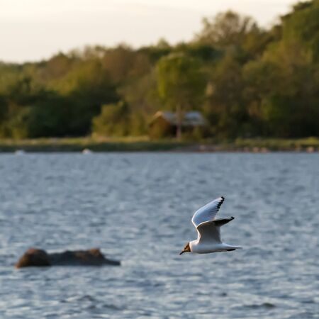 Beautiful Black-headed Gull in flight over the water with green forest in the background Imagens