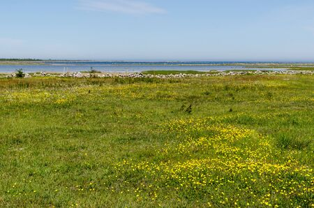 Beautiful wide open grassland with yellow flowers by the coast of the Baltic Sea in a nature reserve at the swedish island Oland Imagens