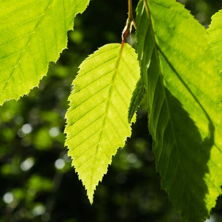 Close up of bright green leaves growing on a twig in a hornbeam tree
