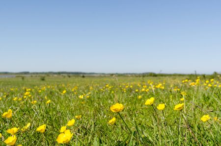 Yellow flowers close up in a green grassland by springtime in a swedish nature reserve at the island Oland