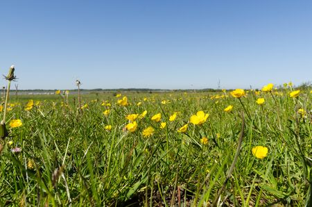 Field with beautiful yellow Buttercups closeup by springtime in a swedish nature reserve at the island Oland Stock Photo