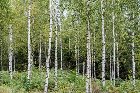 Birch tree grove with white trunks and yellowish leaves