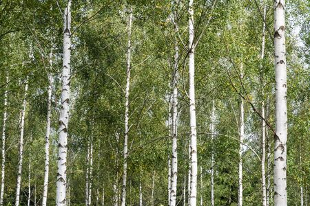 White tree stems in a detail of a beautiful birch tree grove