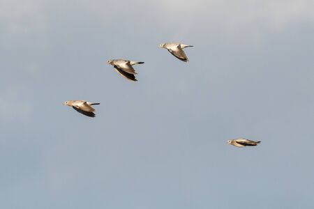 Flying Stock Doves on migration against a blue sky
