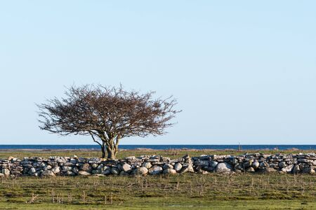 Lone tree in a coastal grassland by Ottenby at the swedish island Oland