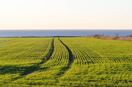 Tracks in a coastal cornfield at the island Oland in Sweden