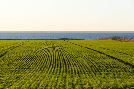 Rows in a green coastal cornfield at the swedish island Oland